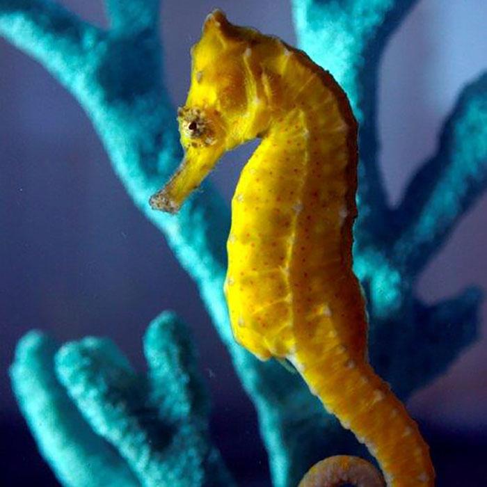 Common Seahorse - Hippocampus kuda