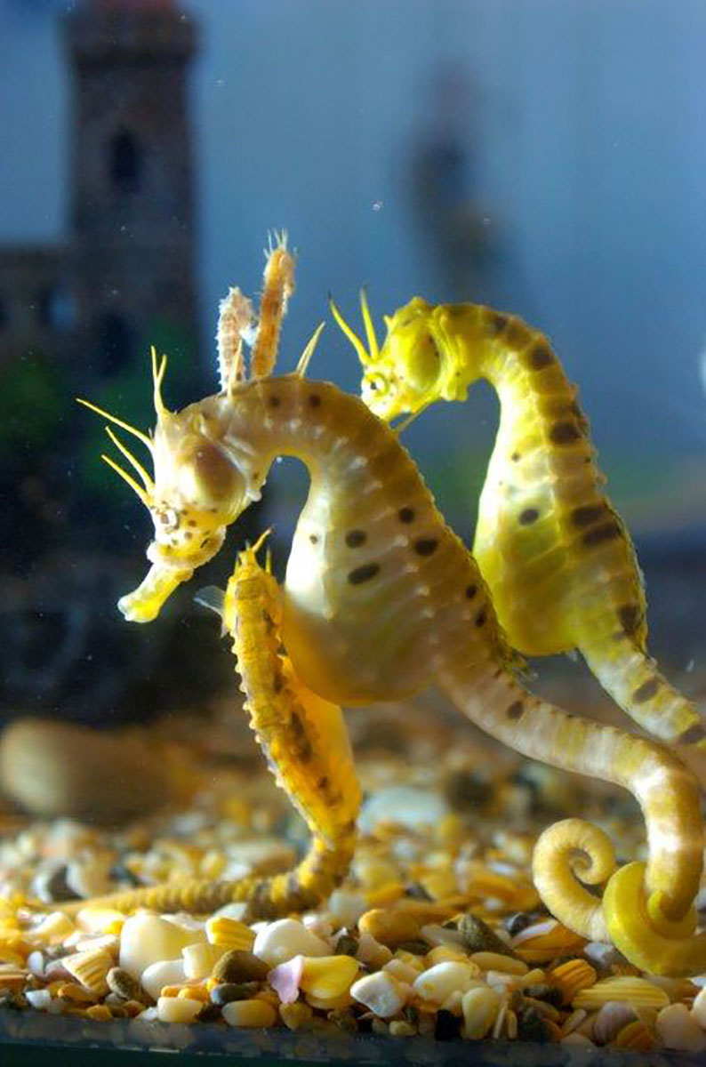 Southern Knight (Potbelly) Seahorse